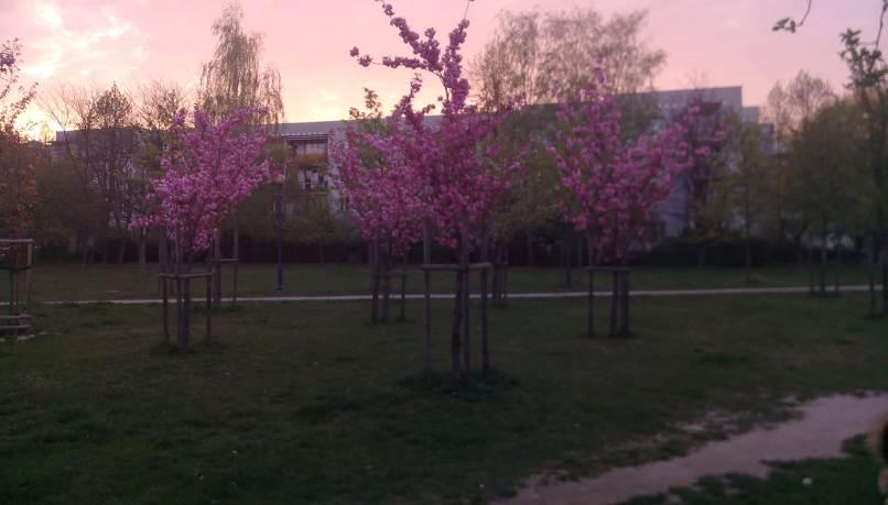 Fioletowe drzeewa - Drzewa w okresie kwitnienia